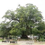 野間の大けやきへGO! 樹齢千年の神木と薪パン日々のパンを求めて
